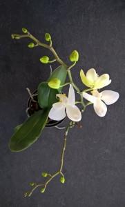 Orchidee_4